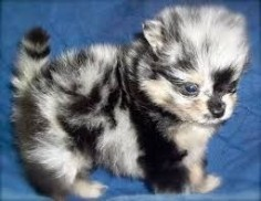 Image result for blue merle pomeranian