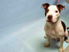 IN FOSTER - ROSEMARY - #A1062038 - Urgent Brooklyn - FEMALE WHITE/BROWN AM PIT BULL TER MIX, 1 Yr - STRAY - NO HOLD Intake 01/02/16 Due Out 01/05/16 - CAME IN WITH ROSEANNE #A1062040 (NOT AN URGENT DOG)