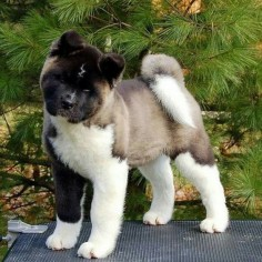 """""""In Love with American Akita!"""