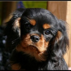 "Instagram media bazzdartz - Black&Tan Cavalier Boy ""Jack"" #cavalier #dog #showdog #animals #sweet #puppy #dogsofinstagram #cavalierkingcharlesspaniel #ckcs #dogoftheday #instadogs #ckcs#black&tan"