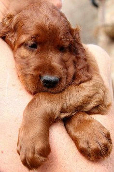 Irish setter puppy :-)