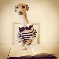 italian greyhound love