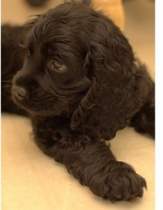 It's a baby Sophie! Black Cocker Spaniel