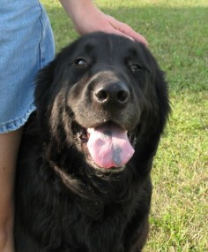 It's Raining Cats & Dogs In West Virginia : 11/2/09 Black Lab Mix, Newfoundland lab Mix Very Urgent Guernsey Pound Ohio Incredibly Handsome Dogs