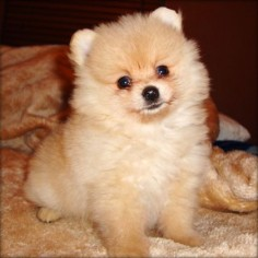 I've always wanted an orange teacup pomeranian. They're so furry and cute!
