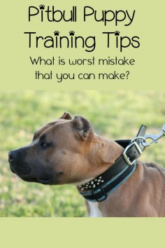 I've brought you tons of Pitbull puppy training tips over the last few weeks. One of my biggest Pitbull puppy training tips is avoiding one major mistake.