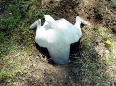 Jack in the  this is funny but if you have never seen a Jack Russell Terrier dig in to find a mole this is exactly what they do, they go right down the hole after that mole and they don't stop until they pull it out! Many times I find my Jack Russel with nothing but her butt sticking up out of the ground!