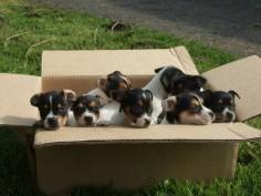 Jack Russel Pups :)