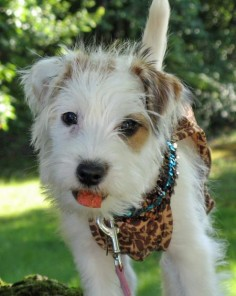 jack russell long haired puppy - Google Search
