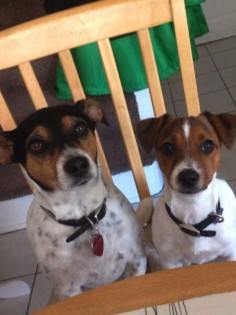 Jack Russell owners all have one thing in common - they all experience and understand these funny