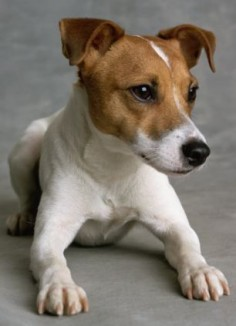 Jack Russell Terrier - looks like our Jack!