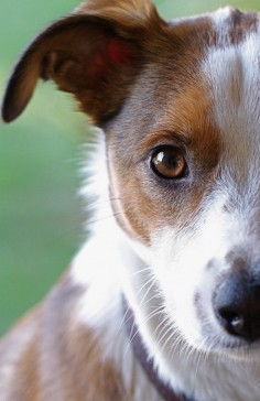 Jack Russell Terrier - runs the household!!