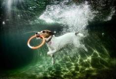 Jack Russell under water by Seth  me af hoe je dit fotografeerd maar wel heel gaaf
