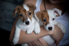 jack-russels