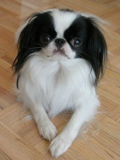Japanese Chin. I think these dogs are awesome