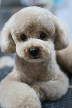 Japanese style grooming - French Poodle