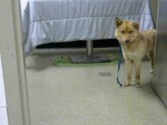 June 6 Still avail. I am a spayed female, gold Alaskan Husky and German Shepherd Dog. about 1 year and 6 months old. NC