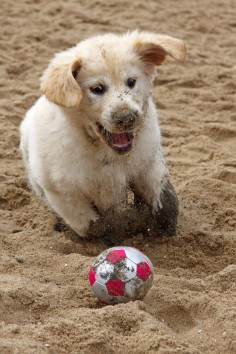 …keep their eye on the ball… | 24 Things Golden Retriever Owners Know To Be True