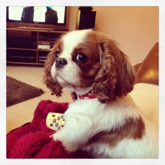"""Keeping the remote so you don't fight!"" #dogs #pets #CavalierKingCharlesSpaniels #puppies"