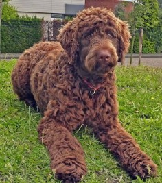 Kenzo the Flandoodle at 11 months old. The Flandoodle is a large cross breed known for being alert, energetic, gentle, intelligent, loving, loyal, and protective. It is the cross of the Bouvier des Flandres and Poodle. The most common colors for Flandoodles are black, brindle, brown, fawn, gray, and salt & pepper.