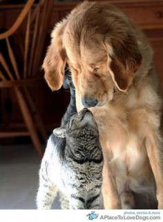 Kiara the cat and Sabian the Golden Retriever