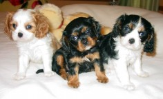 king charles cavalier spaniel  I just please have one already??