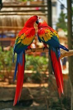 Kissing Parrots - Cute Couple