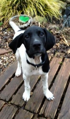 Kohl is an #adoptable German Shorthaired Pointer Dog in #Charleston, #WVIRGINIA Kohl is a 3-month old black/white GSP puppy. He entered foster care with his brother and ... ...Read more about me on @