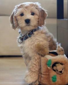 ♥ labradoodles!!!