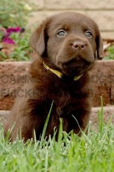 Labrador Dog Chocolate
