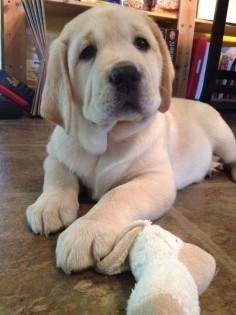 labrador puppy #labrador #labpuppy