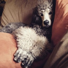 Life's rough with no job and all day to nap. #standardpoodle #standardpoodles #silverstandardpoodle #silver #akc #puppiesofinstagram #dogsofinstagram #puppy