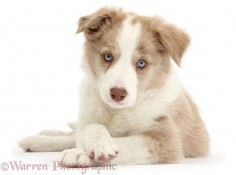 Lilac Border Collie pup