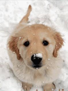 Little Golden Retreiver Pup