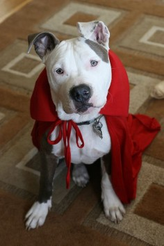 Little Red Riding Pittie