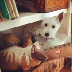 Little Scout hiding from the vacuum. #westie #westhighlandterrier #bigscaryvacuumcleaner #amandaburyantiques