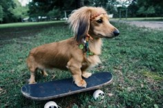 : Long-Haired Miniature Dachshund
