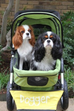 Look at this gorgeous pair Pascha and Izzy, enjoying their Dogger. It's a beautiful sight! :) #cavalier