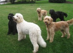 LOVE goldendoodles  :)