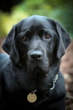 love labrador