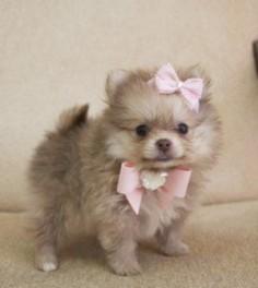 Love Pomeranians