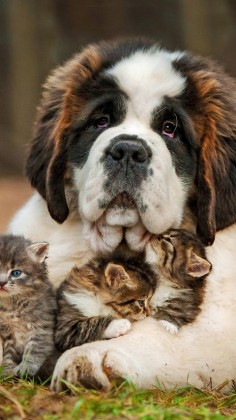 Love ~ St. Bernard and kittens.
