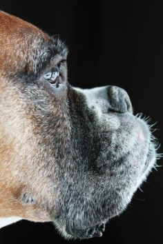 Love they're gray whiskers #boxerlove
