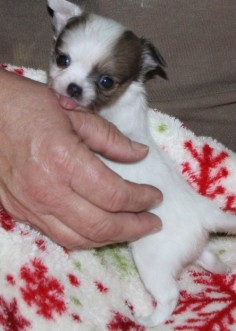 Lovely And Cute Teacup Chihuahua Puppy