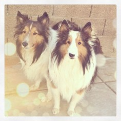 #lucky to have two good #boys #harley #hugo #shelties #dogs #puppies #mansbestfriend #furbaby #fmsphotoaday  #potd #pets #animals #family #pictapgo #picfx