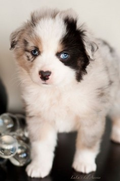 Lulus Lil Aussies, Toy Australian Shepherds