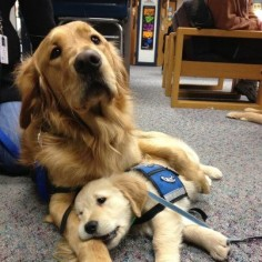 Luther Comfort Dog and Isaiah Comfort Dog (In Training). [Lutheran K-9 Comfort Dogs in Newtown, CT]