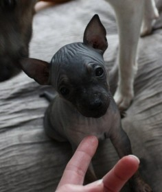 Lyyti, american hairless terrier pup