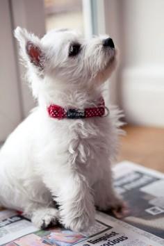 Maggie Westie Puppy