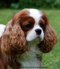 maibee montrose cavalier | ... cavalier king charles spaniels, cavalier king charles spaniels puppy's